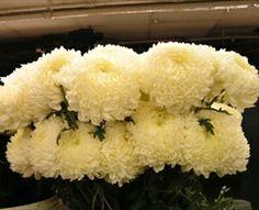 18 Best White Mums Images White Mums Chrysanthemum White Flowers