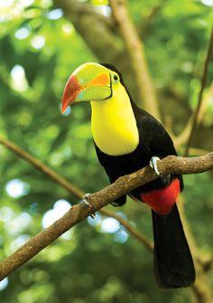 Colorful Toucan in the Costa Rican jungle Costa Rica, Panama Cruise, Countries In Central America, Forest Habitat, Adventure Activities, Mundo Animal, Big Bird, All Gods Creatures, Caribbean Sea