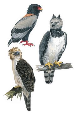Aguila volatinera, Harpía y Aguila monera de Filipinas