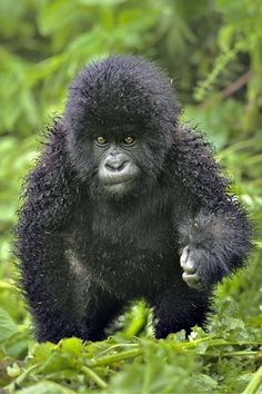 We'd like a cuddle with this baby mountain gorilla.