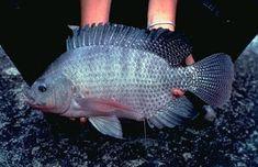 Tilapia, Fish Farming, Pets, Animals, Natural, Aquaponics, Happiness, Laying Hens, Miniature Gardens