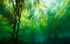 Forêt de kelp