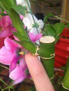 Si deseas tener en casa un ejemplar de esta planta, o ya lo tienes pero quieres reproducirlo. Saber cómo reproducir bambú de la suerte te será de utilidad.