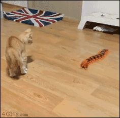 Watch Cat spazzes out over a toy centipede Animated Gif Image. Gif4Share is best source of Funny GIFs, Cats GIFs, Dogs GIFs to Share on social networks and chat.