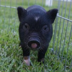 Carolina Mini Pig - Beau (AMPA) Mini Pigs For Sale, Juliana Pigs, Pets, Happy, Animals, Animales, Animaux, Ser Feliz, Animal