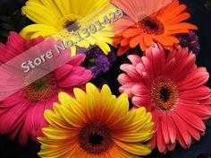 ガーベラ種子、屋内盆栽植物花の種、 50 ピース/家族&多年生庭菊。 成長し やすい 。 混合色。