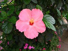 Rose mallow, Hibiscus Pink Elephant,(Hibiscus moscheutos), Amagansett (the Hamptons), New York 2012
