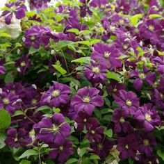 This is a vigorous and fully hardy scrambling Clematis. 'Etoile Violette' has stunning, deep-purple flowers with a creamy yellow centre. Blooming from July to September, this beautiful plant is covered in masses of these showy flowers and looks stunn Clematis Plants, Garden Plants, Garden Express, Woodland Garden, Evergreen Shrubs, Garden Borders, Late Summer, Garden Styles, Deep Purple