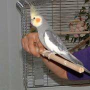 Good article on taming an aggressive cockatiel Budgies Parrot, Parakeets, Parrot Bird, Parrots, Pretty Birds, Beautiful Birds, Cockatiel Care, Conure, Bird Toys