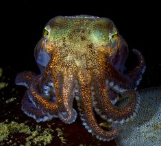 """Stubby Squid from """"Beneath Cold Seas"""" by David Hall."""