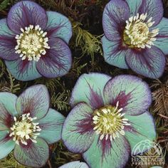 Helleborus 'Jade Star' - 2005 Perennial Plant of the year