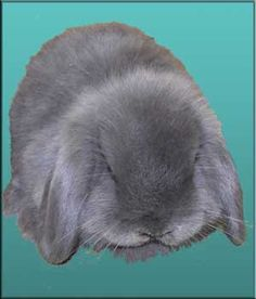 ... bunnies on Pinterest   Holland lop, Rabbits for sale and Baby bunnies