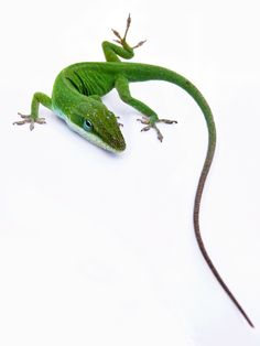 Green Anole Lizard... We see these little guys all around out back. So cute...