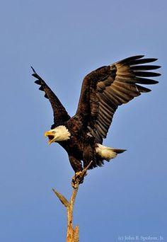 Eagle spreads wings