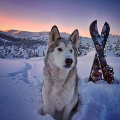 I'm Loki, a husky/arctic wolf/malamute. A low content wolfdog living in Colorado where the adventures never end.