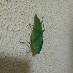 Que visita super especial que acabei de receber!!!😍😍😍 #katydid #insetcs #love Insecta #entomology #esperança #orthoptera
