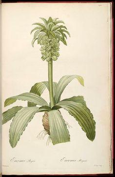 Les liliacees /par Pierre J. Redoute. 1855, volume 3