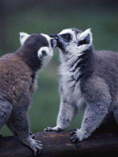 Lemur Catta (Ringtail Lemur)    by John Dominis