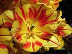 Red and Yellow Flower Close-up By Kristine Euler