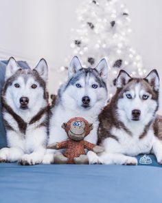 """1,521 Likes, 58 Comments - Husky Squad ™ (@huskysquad) on Instagram: """"The funny thing is... we never had a tree  in our home until the @HuskySquad came into our lives.…"""""""