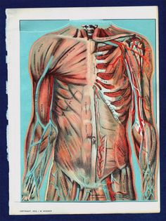 Original 1912 Torso Medical Illustration with by SnippetsofTime, $38.00