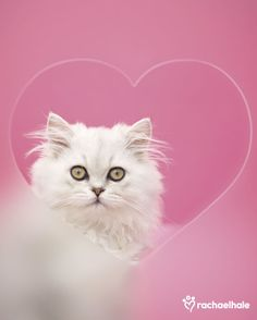 Purrlie (Domestic Longhair) - I keep you in my heart.  (pic by Rachael Hale)