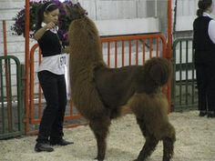 Image result for alpaca show cuts