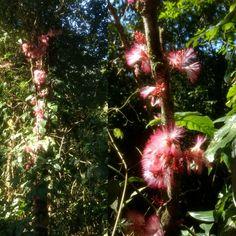 Zygia latifolia, o ingá-bravo! Que tal utilizar esta planta rara da Mata Atlântica na ornamentação? Dia 5/6, Dia Mundial do Meio Ambiente! Preserve! 🌼🌱 #ornamental #ornamentacao #diamundialdomeioambiente #diadomeioambiente #worldenvironmentday #environmentday #environment #meioambiente #mataatlantica #sosmataatlantica #brazil #brasil #biodiversidade #biodiversity #flores #flowering #flowers
