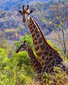 The Tallest Animal (by leendert3)