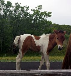 A new foal on Assateague! Thanks to Madison Gordner for sharing
