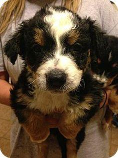 3/20/14 Fort Collins, CO - Bernese Mountain Dog/Australian Shepherd Mix. Meet Roo a Puppy for Adoption.