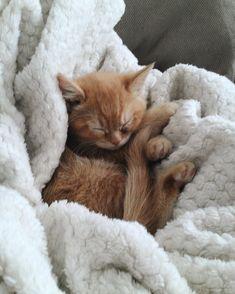 Britishshorthair Cat Loulou - LITTLE EMMA by Tamara (@little.emma) an