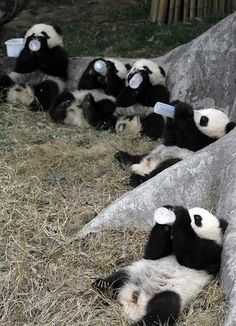 Lunch time for baby pandas