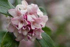 三大香木のひとつ、沈丁花とジンチョウゲ科の植物たち   LOVEGREEN(ラブグリーン)