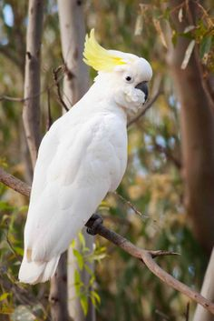 The Sulphur-crested Cockatoo (Cacatua galerita) is a relatively large white cockatoo found in wooded habitats in Australia and New Guinea.