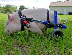 A Pig With A Special Harness