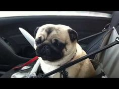 How-To: Clean Your Pug's Wrinkles - YouTube
