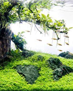 Old Treescape with Anubias mini mini powered by @aquaflora.nl  #FAAO #Aquaflora #Aquascaping #Planted #Aquarium #Aquatic #Plant #Freshwater #aquascape #plantedtank #plantedaquarium