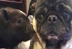 Teneri cuccioli Notizie: UN MAIALINO E UN CARLINO S'INCONTRANO PER LA PRIMA...