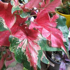 caladium_caladium harlequin plant
