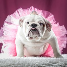 Halloween is only days away. Do you have your costume ready? But more importantly -- does your dog? Follow our Halloween dos and donts so your dog will look great stay safe and remain your best friend long after the night is done -- even if you made him wear a tutu.  LINK IN PROFILE . . . . . . #dog #dogs #dogsofinstagram #bulldog #tutu #ballerina #princess #halloween #love #cute #cutie #funny #adopt #adoptdontshop #rescue #rescuedog #shelter #animal #pet #florida #humanesociety #hsbroward…