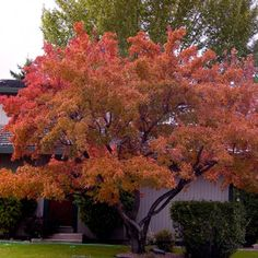 ginnala 'Flame') Tree Seeds - Exotic Frost Hardy in the Deciduous category was sold for on 17 Aug at by Seeds and All in Port Elizabeth Buy Bonsai Tree, Bonsai Tree Types, Indoor Bonsai Tree, Bonsai Trees, Deciduous Trees, Trees And Shrubs, Acer, Horticulture, Red Maple Tree