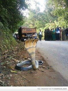 3 headed cobra snake spotted in India. Terrifying