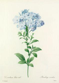 Pierre Joseph Redouté -- Dentelaire bleu-ciel : Plumbago caerulea -- Pierre-Joseph Redouté -- Artists -- RHS Prints