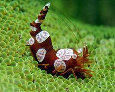 Sexy Shrimp for Salt Water Tanks
