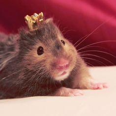 Meet Sophia, the royal hamster of the Principality of Monaco