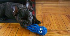 Josie loves her Octopus. #puppy #dog #octopus @American Kennel Club