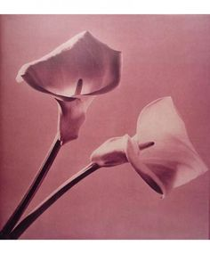 Robert Mapplethorpe: Pistils