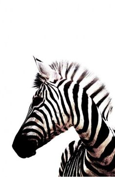 Zebras are absolutely beautiful <3