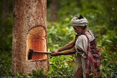 The Raute people rely heavily on their environment as they don't plant anything. Here a tribe member chops a tree